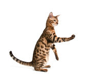 Gato de Bengal imagens de stock royalty free