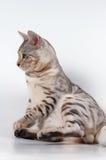 Gato de Bengal Fotografia de Stock Royalty Free