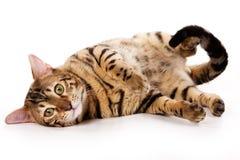 Gato de Bengal Foto de Stock Royalty Free