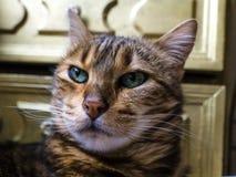 Gato de Bengal: Cabeça do gato de Bengal tomada em casa Foto de Stock