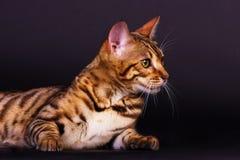 Gato de Bengal na ação Foto de Stock