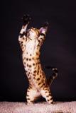 Gato de Bengal na ação Imagem de Stock