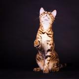 Gato de Bengal na ação Foto de Stock Royalty Free