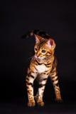 Gato de Bengal na ação Fotografia de Stock