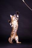 Gato de Bengal na ação Imagem de Stock Royalty Free