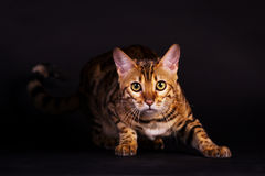 Gato de Bengal na ação Imagens de Stock Royalty Free