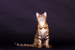 Gato de Bengal na ação Imagens de Stock