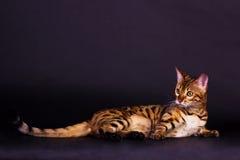 Gato de Bengal na ação Fotos de Stock Royalty Free