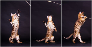 Gato de Bengal na ação Fotografia de Stock Royalty Free