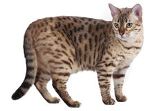 Gato de Bengal que está lateralmente imagem de stock