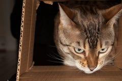 Gato de Bengal que perscruta através da caixa de cartão Imagens de Stock Royalty Free