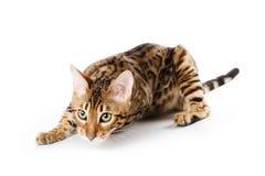 Gato de Bengala Foto de archivo libre de regalías