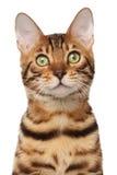 Gato de Bengala Foto de archivo