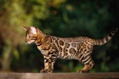 Gato de Bengala al aire libre Imagen de archivo libre de regalías