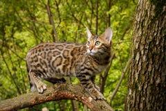 Gato de Bengala al aire libre fotos de archivo