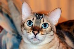 Gato de Bengala con los ojos de la aguamarina imagen de archivo libre de regalías