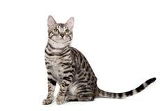 Gato de Bengala en el fondo blanco Imágenes de archivo libres de regalías
