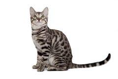 Gato de Bengala en el fondo blanco Foto de archivo libre de regalías