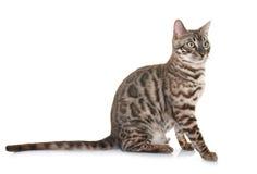 Gato de Bengala en estudio imagen de archivo libre de regalías