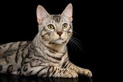 Gato de Bengala en fondo negro foto de archivo libre de regalías