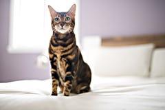 Gato de Bengala en una manta con los ojos verdes imágenes de archivo libres de regalías