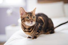 Gato de Bengala en una manta con los ojos verdes imagen de archivo libre de regalías