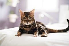 Gato de Bengala en una manta con los ojos verdes imagenes de archivo