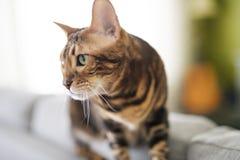Gato de Bengala en una manta con los ojos verdes fotografía de archivo