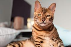 Gato de Bengala que hace una cara imágenes de archivo libres de regalías