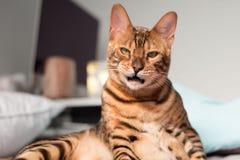 Gato de Bengala que hace una cara imagenes de archivo