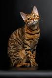 Gato de Bengala que se sienta en la mirada negra y linda Fotografía de archivo libre de regalías