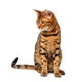 Gato de Bengala que se sienta y que mira abajo en blanco Imágenes de archivo libres de regalías