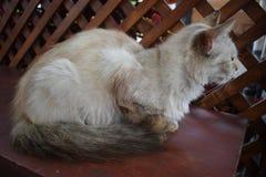 Gato de Beuty en la tabla imagen de archivo libre de regalías