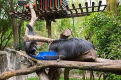 Gato de Binturong - oso hecho muecas, disputa Fotos de archivo libres de regalías