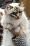 Gato de Birman Imagen de archivo
