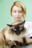 Gato de Birman ao veterinário Imagem de Stock Royalty Free