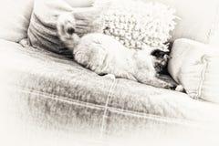 Gato de Birman do ponto de Tortie que joga no sofá fotografia de stock