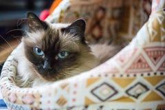 Gato de Birman en una cesta Fotos de archivo