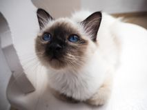 Gato de Birman inquisidor fotografia de stock royalty free