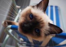 Gato de Birman misterioso fotos de stock