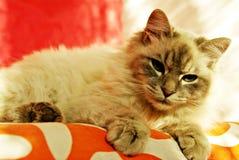Gato de Birman que relaxa Imagem de Stock