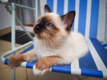 Gato de Birman que relaxa fotografia de stock