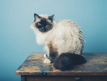 Gato de Birman que senta-se em uma mesa de madeira Fotos de Stock