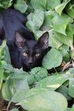 Gato de Blacky fotografía de archivo