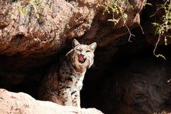 Gato de Bob Foto de Stock Royalty Free