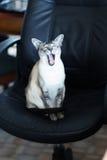 Gato de bocejo Fotografia de Stock Royalty Free