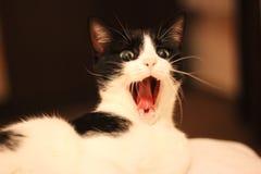 Gato de bocejo, gato que grita Imagem de Stock