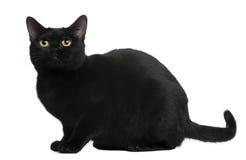 Gato de Bombay, 8 meses Foto de archivo