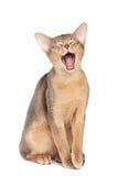Gato de bostezo Imágenes de archivo libres de regalías