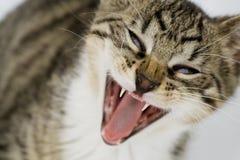 Gato de bostezo Fotografía de archivo libre de regalías